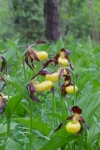 Frauenschuh (Cypripedium calceolus), Foto: Mark Piazzi